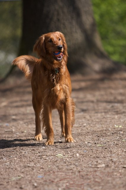 Home Akc Golden Retriever And Irish Setter Puppies